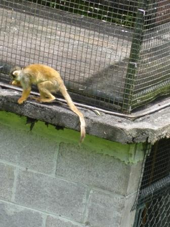 zoo monkey hilo