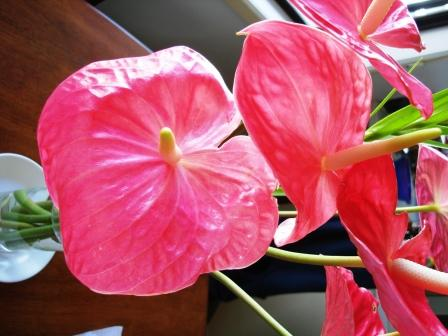 Anthuriums from Hilo