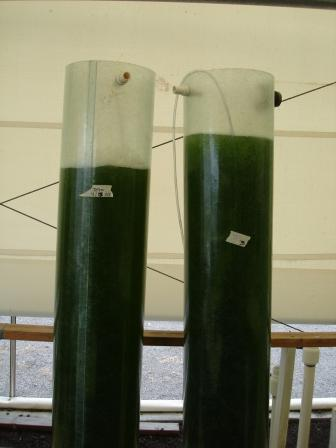 Algae growing in Hilo hiloliving.com
