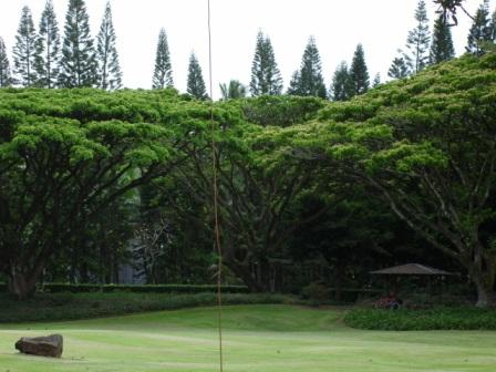 trees in Hilo