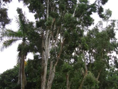 eucalyptus dying in Hilo